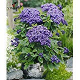 Heliotrope Seeds, Heliotropium Arborescens Rare bonsai flowers Perennial Fragrant Flower Seeds Fragrant Heliotrope 20seeds/bag