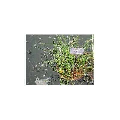 Juncus effusus Spiralis CORKSCREW RUSH Seeds! : Garden & Outdoor