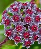 Hoya carnosa Multi Coloured - Hindu rope - Wax plant - 10 seeds