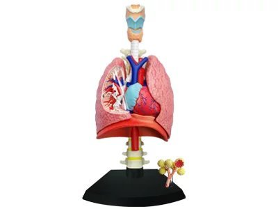 Doc Royal?The Latest 4D Puzzle Human Anatomy 3D Model Lung