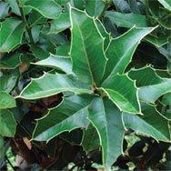 Espinheira Santa, Cut&Sifted - Wildcrafted - Maytenus ilicifolia (454g = One Pound) Brand: Herbies Herbs by Herbies Herbs