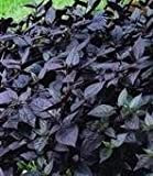 Alternanthera - Purple Knight - 25 Seeds