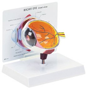 Eye Normal Anatomical Model by GPI Anatomicals (Image #1)