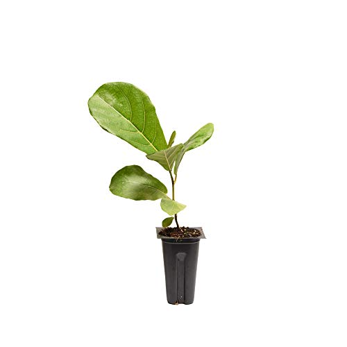 Perfect Plants Live Baby Fiddle Leaf Fig Plant, Includes Care Guide