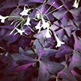 2 Good Luck Plant, Oxalis Purple Shamrock Clover Bulbs
