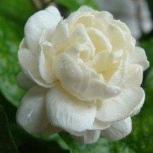 Plantsguru Arabian Jasmine Mogra Double