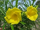 New Thevetia Nereifolia - Oleander , YELLOW Evergreen TREE Shrub , TROPICAL SCENTED Flower , 5 + Seeds !