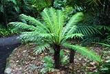 "BLECHNUM GIBBUM - Silver Lady - Dwarf Tree Fern -1 Live Plant - 4"" Pot"