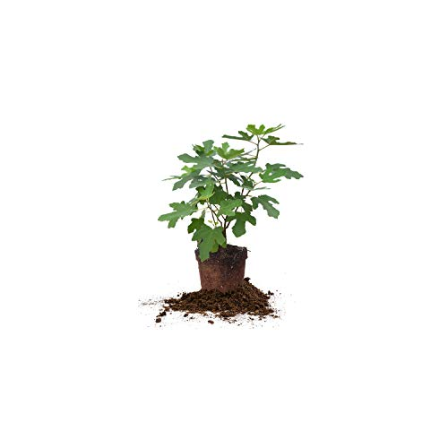 Perfect Plants Chicago Hardy Fig Tree Live Plant, 1 Gallon, Includes Care - Fig Dwarf