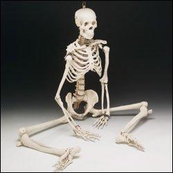Bucky 4th Quality Human Skeleton (Bucky Skeleton)