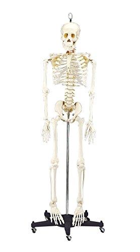 Budget Bart Skeleton Model 4 Ft 2 In