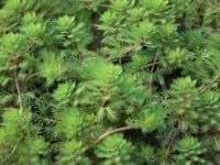 Mil Hojas (Myriophyllum hippuroides) c50-a005