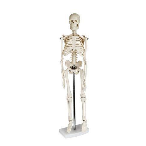 XPONION Human Body Skeleton 40 cm