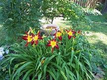 (1 Gallon Pot: Hemerocallis Rainbow Rhythm 'Ruby Spider' Daylily. Gigantic, 9 inch, Dark Ruby red Flowers with Long, Spoon-Shaped Petals and Large Yellow Throat with Matching)