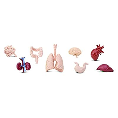 Safari 689304-SNL, Ltd. Human Organs TOOB - Quality Construction from Safe and BPA Free Materials Toy, Multicolor: Toys & Games