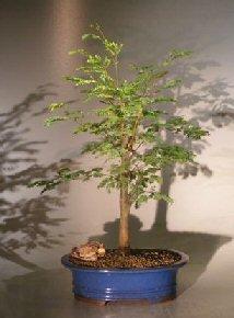 Bonsai Boy's Horseflesh Mahogany - Large lysiloma sabicu by Bonsai Boy