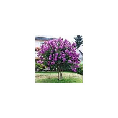 CrapeMyrtleGuy Semi Dwarf Purple Zuni Trees (Pack of 4) : Garden & Outdoor