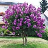 4 Pack - Semi Dwarf Zuni Crape Myrtle Trees - Purple Flowering - Grown in Quart Containers