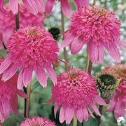 Razzmatazz Coneflower Flower Seed Pack with Planting Instructions Echinacea Seeds