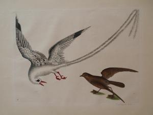 The Tropick Bird