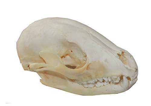 Real Raccoon Skull (Cleaned and Assembled Adult American Raccoon Skull)