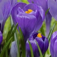 Remembrance Crocus Bulbs-- Fall planting!