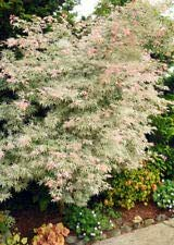 Ukigumo 3-4/' tall whip live plant Floating Cloud Variegated Japanese Maple