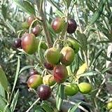 New and Healthy Olive Tree Manzanillo Olea Europaea Live plant