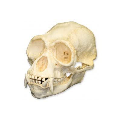 Siamang Skull (Teaching Quality Replica): Industrial & Scientific [5Bkhe0202393]