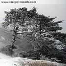 Himalaya Rießen Tanne 10 Samen (Winterhart und bis 60 Meter hocher Wuchs)