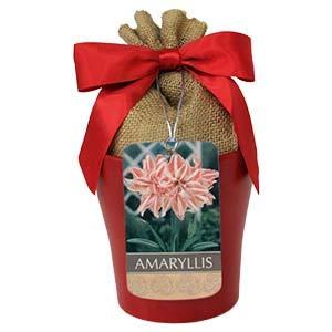Amaryllis Dancing Queen Bulb in Red Ceramic Planter ()