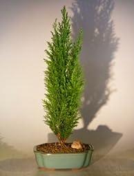 Bonsai Boy\'s Italian Cypress Evergreen Bonsai Tree - Large cupressus sempervirens