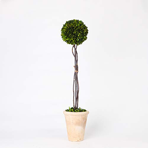 Real Preserved Boxwood Evergreen Globe Tree Topiary in Terracotta Planter, Zero Maintenance Required((29 inch Tall) (Globe Topiary)