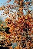 Celastrus orbiculatus BITTERSWEET VINE Seeds!