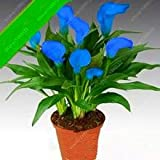 True calla lily bulbs, bonsai flower bulbs zantedeschia aethiopica (not calla lily seed) Bulbous Root plant pot for garden 2 pcs 19