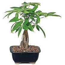 Money Tree - Represents Good Luck (Indoor) from BonsaiOutlet