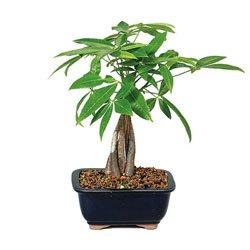(BonsaiOutlet Money Tree - Represents Good Luck (Indoor) from)