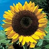 SUNFLOWER - GIANT Yellow 3 metre plus - 40 seeds