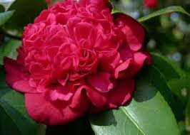 (1 Gallon) Camellia Professor Sargent, Dazzling Scarlet Red, Double Blooms From Nov-May 171165173171