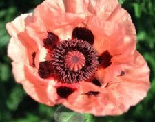 1000 MIXED COLORS ORIENTAL POPPY Papaver Orientale Flower Seeds by (Oriental Poppies Seed)