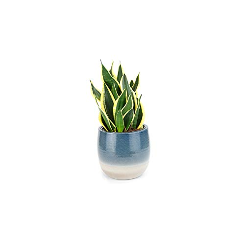 Burpee Golden Snake Plant with with 6