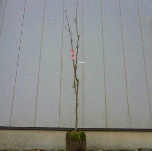 ナシ 幸水 樹高1.8~2.0m前後 (根鉢含まず) B01N2TNYV4
