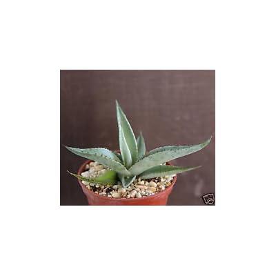 AGAVE GUIENGOLA exotic rare succulent plant bonsai outdoor caudex cactus cacti 4: Garden & Outdoor