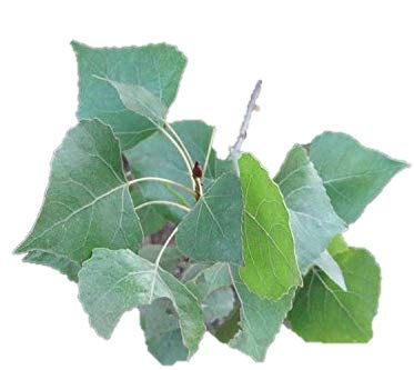 - Eastern Cottonwood - Salicaceae - Heavy Established Roots - 1 Trade Gallon Pot - 1 Plant by Growers Solution