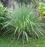 Herb Seeds - Lemongrass - 500 Seeds