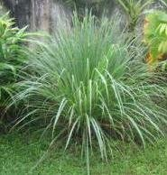 Herb Seeds Lemongrass 500 product image