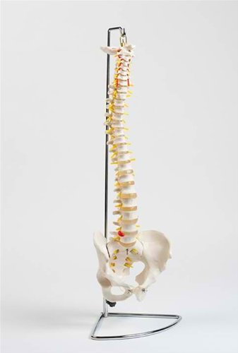 Flexible Chiropractic Spine Model, Life Size, Floor Stand Included (Chiropractic Education)