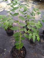 (Real strawberry tree muntingia CALABURA live not seeds 2 FOOT TALL TREE)