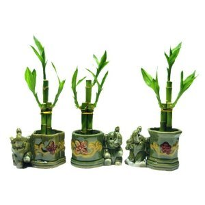 (3 Sets of Lucky Bamboo Arrangements in 3 Different Shapes of Lucky Bamboo Vase with Elephant.)