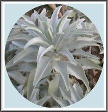 800mg Californie sauge blanche 400 Seeds ~ sacr/é Salvia Apiana c/ér/émonie aromatique